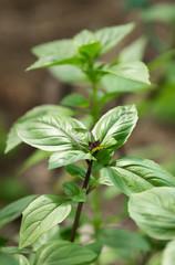 A fresh basil green leaves close up