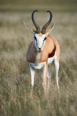 Adult male springbok walking in the savannah.