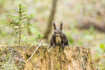 Europäisches Eichhörnchen (Sciurus vulgaris) auf einem Baumstumpf