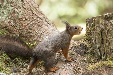 Europäisches Eichhörnchen (Sciurus vulgaris), mit einer Haselnuss im Maul