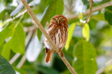 Ferruginous Pygmy Owl perching an a tree branch against green background with leaves, facing camera, Pantanal Wetlands, Mato Grosso, Brazil