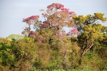 Wonderful pink blooming Piuva Tree in a Cerrado Forest, Pantanal Wetlands, Mato Grosso, Brazil