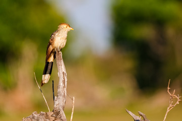 Guira Cuckoo perching on top of a dead tree trunk, looking to the right, defocused background, Pantanal Wetlands, Mato Grosso, Brazi