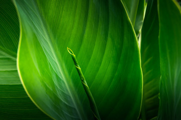 Wall Mural - Close-up large foliage of tropical leaf with dark green texture, abstract nature background.