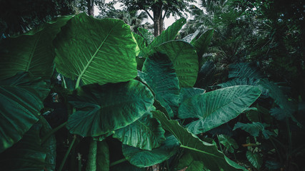 Wall Mural - Large foliage of tropical leaf with dark green, jungle nature background.