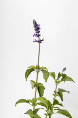 Flowers and foliage of Salvia Mystic Spires