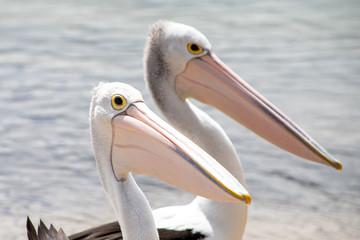Fototapeta Australian Pelican in Australia obraz