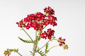 Flowers of yarrow Achillea millefolium Red Velvet