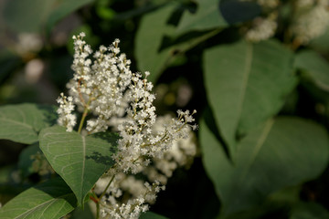 green leaves and white flowers of a plant with deep shadows
