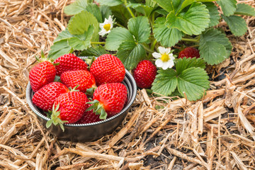 bowl full of ripe strawberries with strawberry plant in organic garden