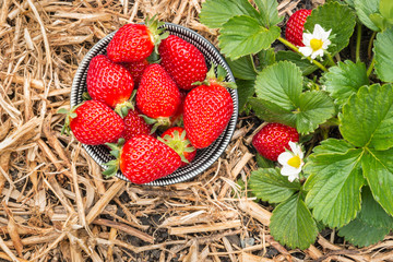 ripe strawberries in bowl on straw in organic garden