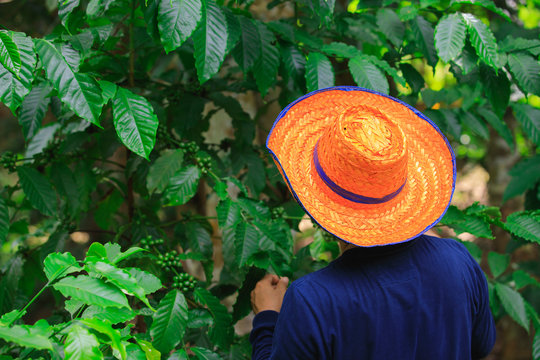 A farmer wearing a hat stands in a coffee garden, berries coffee beans, coffee plantation field.