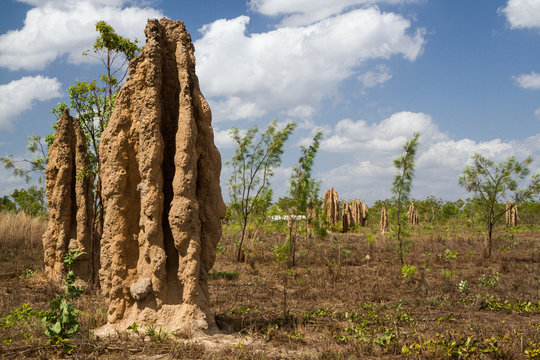 Cathedral termite mounds (Nasutitermes triodae) on rural property