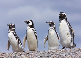 Fotobehang Pinguin Pingüino de Magallanes (Spheniscus magellanicus), Puerto Deseado, Patagonia, Argentina