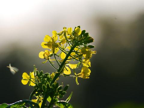 Laupheim, Deutschland: Eine gelbe Blume, die von einem Lichtsaum umhüllt ist. Dabei handelt es sich um Sinapis arvensis (Acker-Senf)