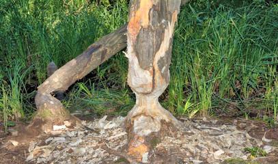 Biberspuren am Fluss Schwalm im Schwalm-Nette Naturpark am Niederrhein,Nordrhein-Westfalen,Deutschland