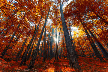 Deurstickers Rood paars beautiful autumn forest trees, autumn nature