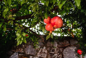 Red ripe pomegranate fruit on tree branch in the garden  orchard ready for harvest