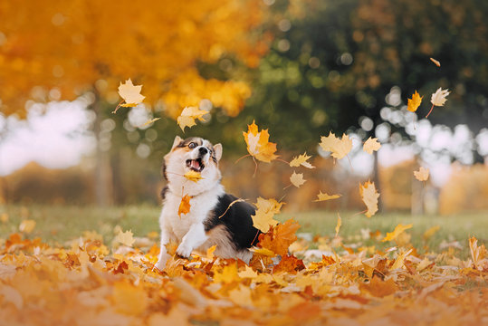 Pembroke Welsh Corgi playing in the leaves
