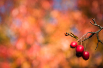Red rosehips growing on a rose hip bush. Shallow depth of field. Blurred natural background. Space on left side