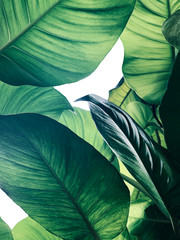 Abstract tropical green leaves pattern on white background, lush foliage of giant golden pothos or Devil's ivy (Epipremnum aureum) the tropic plant.