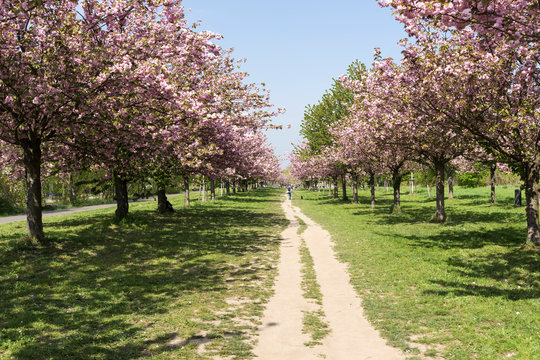 Japanische Kirschblüte in der Frühlingszeit