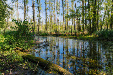 Wetland forest landscape in Europe / Poland