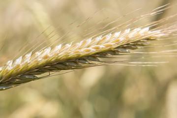 Getreide im Juni Fotoväggar