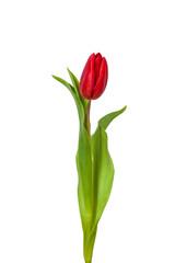 Tuinposter Tulp Tulpe Freisteller