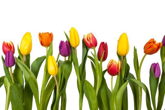 Bunte Tulpen Freisteller