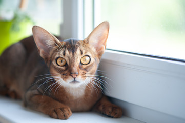 Beautiful Abyssinian cat on the windowsill, looking at the camera