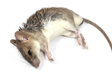 rat die isolated on white background. mouse dead laying across a table.