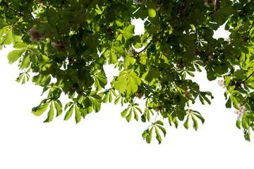 Kastanienblätter am Baum Freisteller