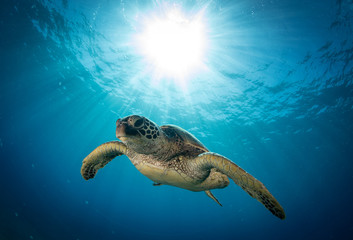 Photo sur Aluminium Tortue Hawaiian Green Sea turtle on a coral reef in Maui