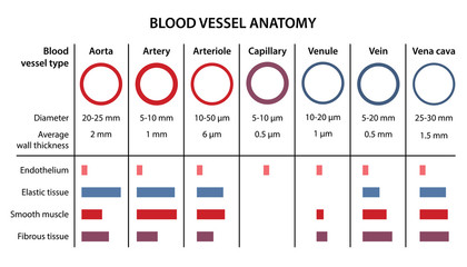 The human circulatory system. Anatomy of blood vessels. Diagram of the diameter and structure of aorta, arteries, arterioles, capillaries, venules, and veins. Vector illustration in a flat style.