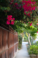 bougainvillea over garden wall sidewalk afternoon walk neighborhood