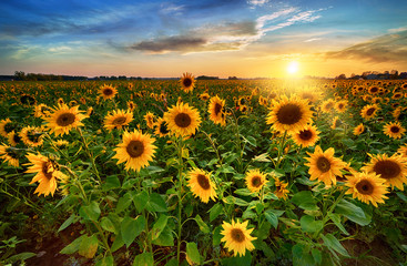 Beautiful sunset over sunflower field