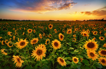 Poster Zonnebloem Beautiful sunset over sunflower field