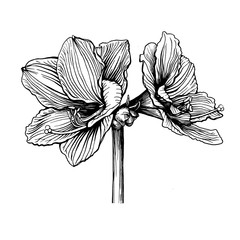 Hippeastrum flower (also known as amaryllis, hippeastrum Kolibri and Merry Christmas). Black and white outline illustration hand drawn work isolated on white background.