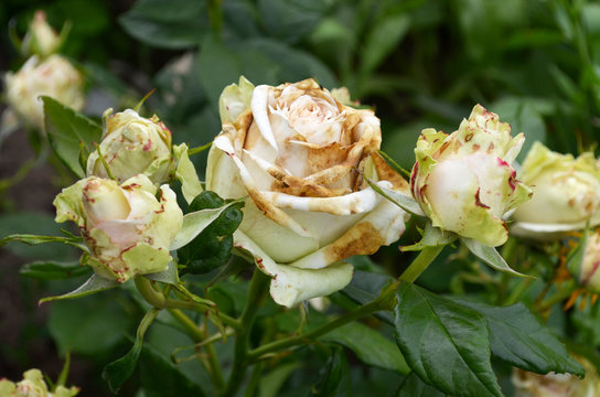 Rose flowers affected by fungal infection - botrytis cinereal (gray rot). Petals are covered brown spots