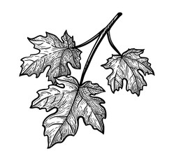 Ink sketch of maple branch.