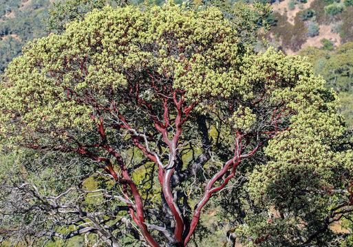 Manzanita tree in California wilderness