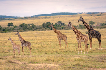 A giraffe family with five members including young calves standing on the savanna all looking in the same direction.  Image taken in the Maasai Mara, Kenya. Wall mural