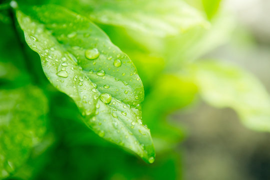 Close up of Dew on leaves texture background  with warm light