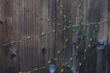 dainty leafed vine climbing old wooden fence
