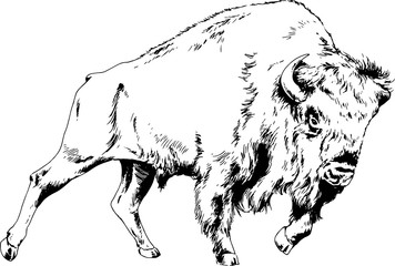 powerful huge Buffalo with horns drawn in ink freehand sketch tattoo