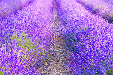 Blooming lavender fields at sunset in Provence, France. Beautiful summer nature background