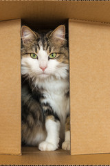 closeup of a tabby cat hiding in cardboard box