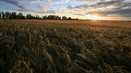 Fototapete - Beautiful scenic sunset with rays of sun shining through clouds in sky. Sunset over the yellow field of wheat. Sun sets over the horizon. Beauty of nature, agriculture, harvest .