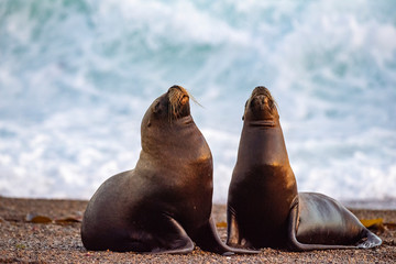 Spoed Foto op Canvas Leeuw sea lion on the beach in Patagonia